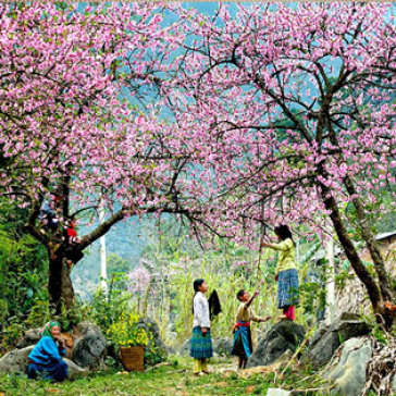 Tour Mai Châu - Mộc Châu 2N1Đ Trải Nghiệm Mùa Hoa Cải – Hoa Mận – Hoa Đào