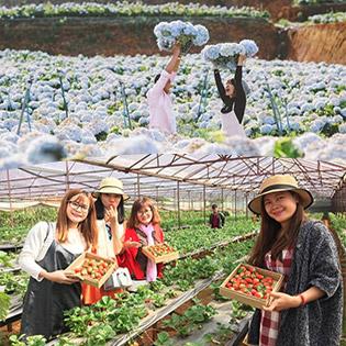 Tour Nhà Vườn Đà Lạt 1 Ngày – Vườn Cà Chua Đen + Dưa Pepino – Hoa Lavender – Vườn Dâu Tây – CĐSP Đà Lạt – Áp Dụng Lễ Tết